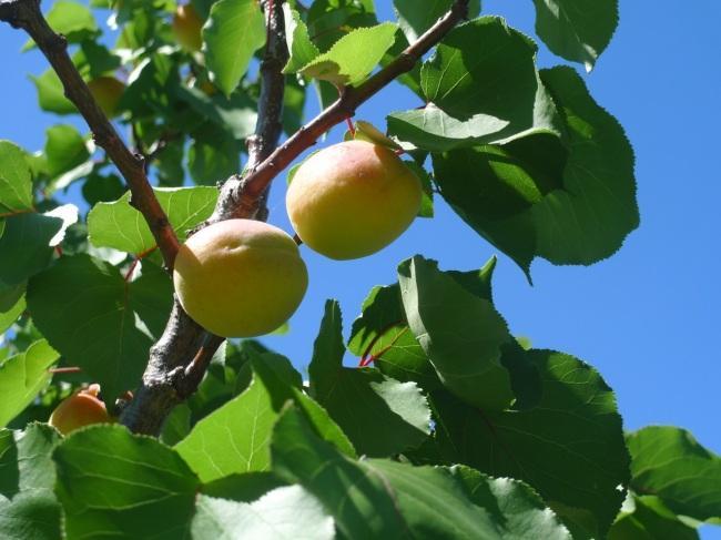 Fruit trees at Bundoora Homestead